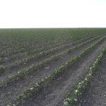 Estado fitosanitario del cultivo de algodón en Andalucía