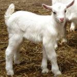 Nueva bajada del precio de la leche de ovino en abril
