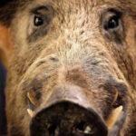 PPA: Se prohíbe el envío de jabalíes silvestres entre países de la UE