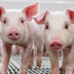Hendrix Genetics se une a la alianza para acabar con la castración quirúrgica en cerdos