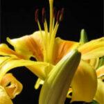 Ciencia para alargar la breve vida de la flor cortada