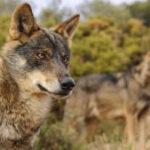 Se interrumpe de momento, la caza del lobo al norte del Duero
