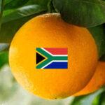 Cuatro de las once plagas citrícolas llegadas a España en los últimos años estaban ya presentes en Sudáfrica