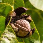 Constituido en FEPEX el Comité de nueces de nogal y pecanas como respuesta al crecimiento de la producción