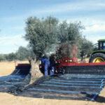 Publicado en Extremadura la convocatoria de ayudas a la modernización del olivar para el ejercicio 2018