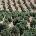 """La campaña oleícola andaluza, con más de 950.000 t, ha sido """"mejor de lo esperado"""""""