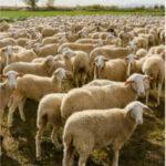 Desde el 1 de junio ya se puede contratar el seguro de explotación de ovino y caprino