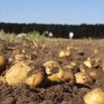 La Xunta le pedirá a Enesa ampliar la contratación de seguros agrarios en patata