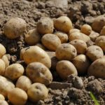 El Gobierno Vasco quiere permitir que las explotaciones explotaciones puedan elegir el tipo de patata a producir