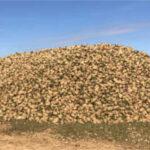 Azucarera estima un aforo de 640.000 t líquidas de remolacha en Andalucía