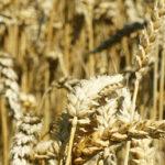 ASAJA prevé una cosecha de cereales de invierno de  17 Mt