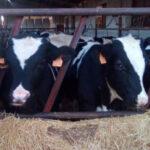 Nuevo varapalo de la CNMC los ganaderos de leche españoles