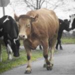 Planas pondrá en marcha el etiquetado del origen de la leche