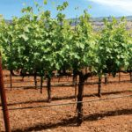 Todos los nuevos jóvenes viticultores de Castilla-La Mancha recibirá el 100% de la superficie de viñedo solicitada