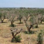 Funcionarios de la Comisión visitan las explotaciones afectadas por Xylella en Alicante