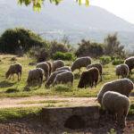 Decálogo de nuestros pastores de ovejas y cabras para la prevención de incendios forestales