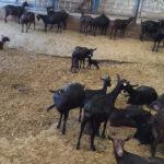 Publicado el programa de erradicación de la tuberculosis caprina de Andalucía