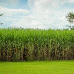 El superavit mundial de azúcar en 2018/19 seguiría alto gracias a India y Brasil