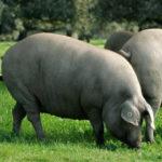 Proponen una serie de modificaciones a la norma del cerdo ibérico