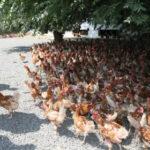 El Gobierno de Castilla-La Mancha apadrinará la fusión de las dos asociaciones de avicultura de puesta existentes en la región
