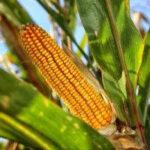 La Comisión autoriza 5 OMG para alimentos y piensos