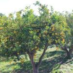 La producción citrícola andaluza 2017-18 alcanza los 2,15 Mt , un 4% más que la campaña anterior