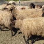 Piden ayuda para gestionar la lana de latxa