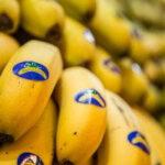 Cantabria verificará la calidad del plátano canario
