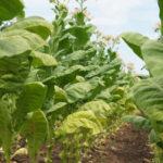 """OITAB: """"La OMS desconoce la realidad del cultivo de tabaco porque se niega a escuchar a los agricultores"""""""