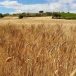 La cosecha de cereales de la UE podría descender en un 2,5% con respecto al año pasado