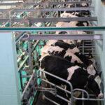 Polémica en Francia por la explotación de las 1.000 vacas