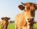 La producción de carne de vacuno podría aumentar en un 0,5% en 2018