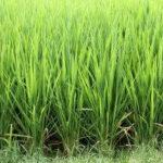 El importe provisional de la ayuda asociada al arroz podría llegar a 116,5 €/ha