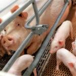 El porcino danés cambia su orientación comercial en los últimos 10 años