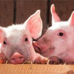 La renta agraria catalana de 2017 supera por primera vez la de 2006 gracias al porcino