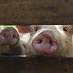 Preocupación en la FAO por la propagación de la PPA en China
