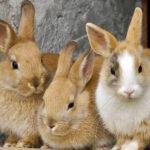 ANSES reconoce a la levaduras como alternativas eficientes a los antibióticos en la producción de conejos