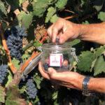 La vendimia solo está generalizada en la zona de Rioja Oriental
