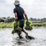 La FAO revisa al alza su previsión mundial de cereales