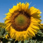 Corteva Agriscience™ y BASF firman un acuerdo de licencia para el girasol Clearfield® Plus