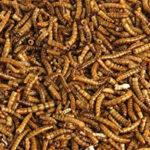 Producen insectos comestibles ricos en vitamina D