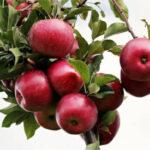La Diputación de Alava presenta un plan de ayuda a frutales para no ATP