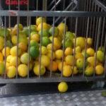 La venta de naranjas verdes o desverdizadas es un fraude y una imprudencia