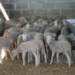 Convocadas en Extremadura las subvenciones para el fomento de razas autóctonas
