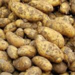 La cosecha de patata en el noroeste de la UE será un 20% menor