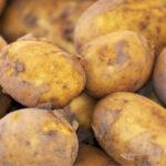 La campaña de patata en Castilla y León está ya en la recta final