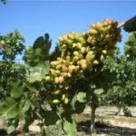 La superficie de pistacho en Andalucía sube un 31% hasta casi 2.500 ha
