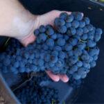 Indignación entre los viticultores porque o no se publican los precios de la uva o éstos son muy bajos