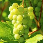 Esperan un buen comportamiento de los precios de la uva esta vendimia