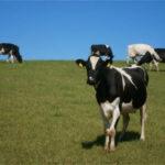 Galicia lidera la producción de leche ecológica